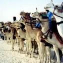festival4-camels